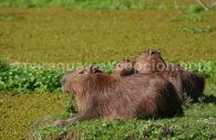 Découvrir le Chaco paraguayen, carpincho, animal du Chaco