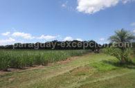 La production du rhum Fortín, Paraguay