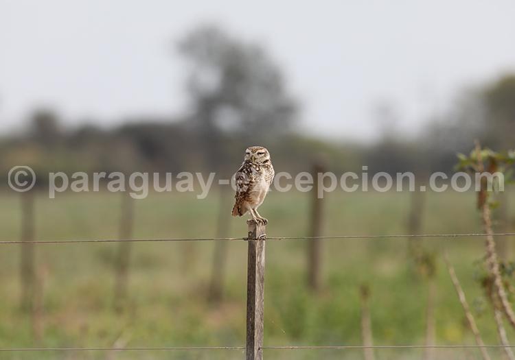 Faune aviaire laguna Chaco Lodge