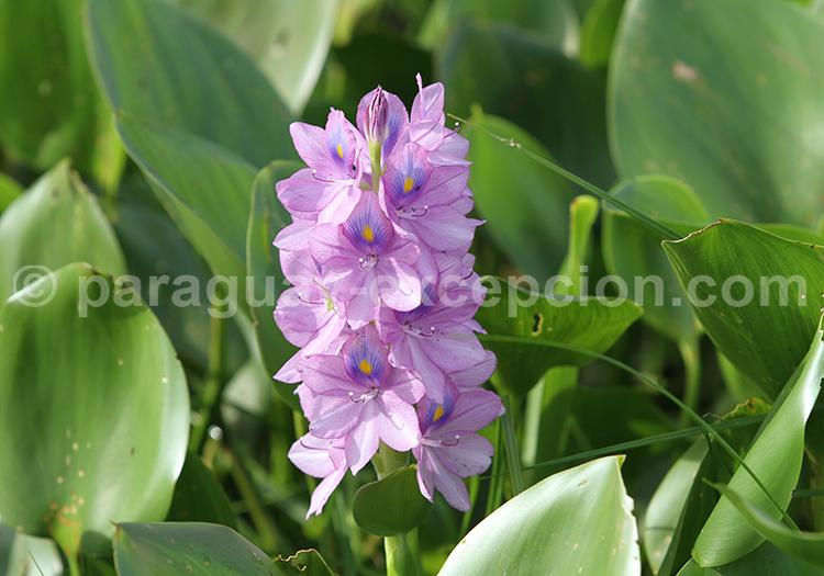Flore du Gran Chaco