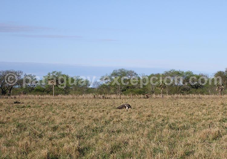 Grand fourmilier Chaco paraguayen