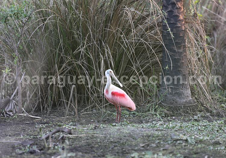 Faune aviaire du Pantanal Paraguay