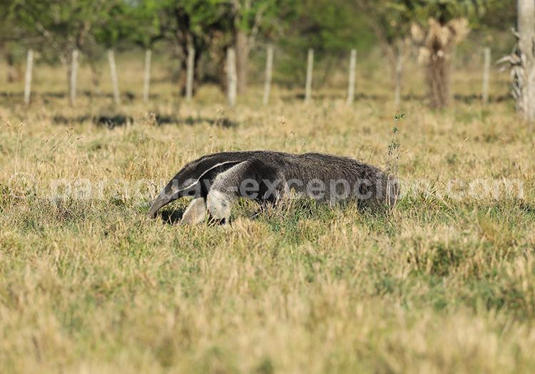 Mammifères du Chaco paraguayen