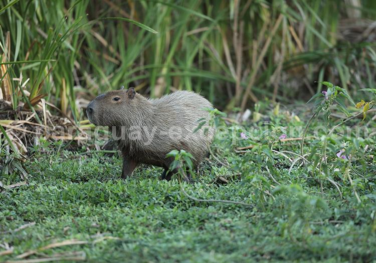 Animaux du Chaco paraguayen