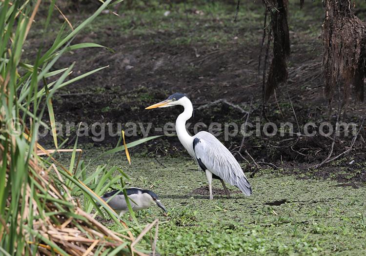 Oiseaux du Pantanal Paraguayen