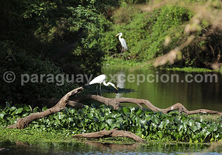 Oiseaux du Chaco paraguayen