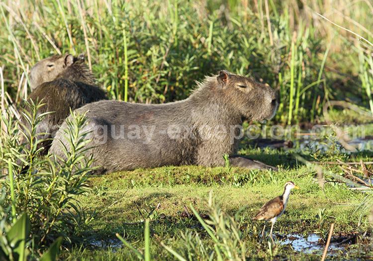Animaux du Pantanal Paraguayen