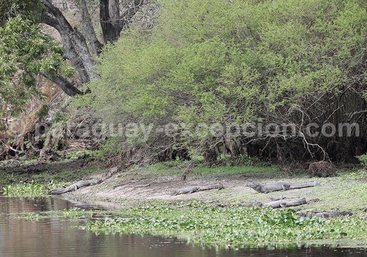 Caimans du Chaco paraguayen