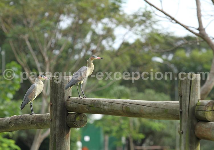 Oiseaux du Gran Chaco