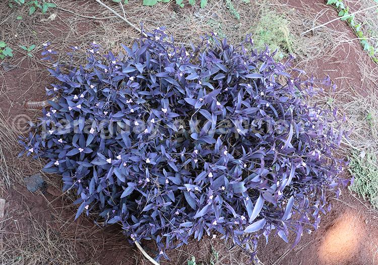 Arbuste violet du Paraguay