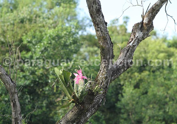 Orchidées du Gran Chaco