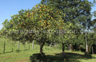 Oranges du Paraguay