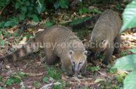 Coati à museau blanc (Nasua narica)
