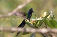 Colibri hirondelle (Eupetomena macroura)