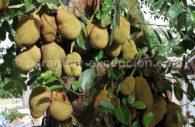 Fruit de Jack, Paraguay