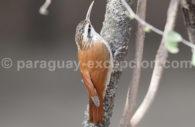 Grimpar à bec étroit (Lepidocolaptes angustirostris)
