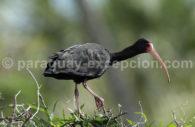 Ibis à face nue (Phimosus infuscatus)
