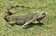 Iguane vert, reptile du Paraguay
