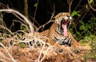Jaguar (Panthera onca), Paraguay