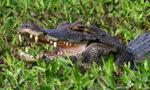 Les reptiles du Paraguay