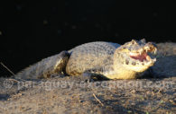 Reptiles du Paraguay, caiman