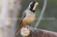 Saltator à bec orange (Saltator aurantiirostris)