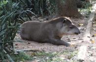 Tapir du Brésil (Tapirus terrestris), Paraguay