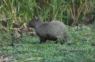 Carpinchos ou capibaras (Hydrochoerus), Paraguay