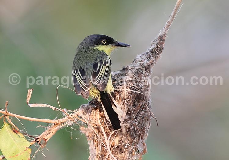 Faune Aviaire Au Paraguay Les Oiseaux De La Savane