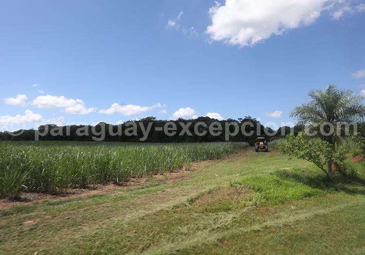 Champs de cannes à sucre, Paraguay