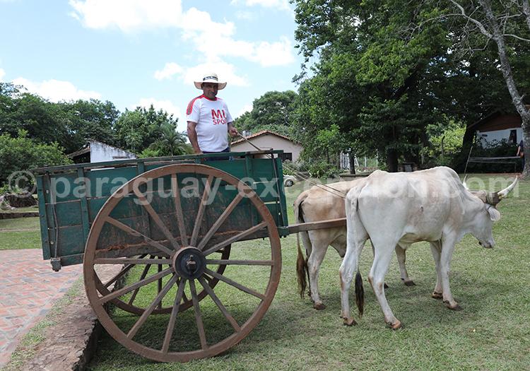 Culture de la canne à sucre au Paraguay