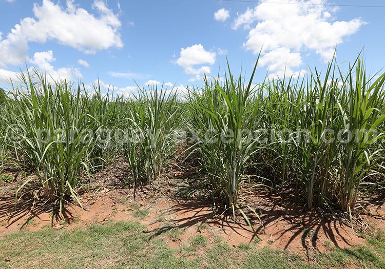Plantation de cannes à sucre au Paraguay