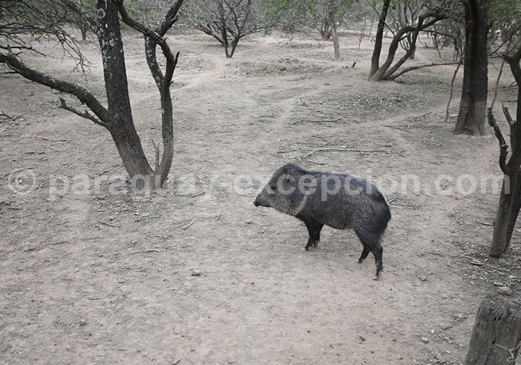 Pécari à collier, Centre Chaqueño pour la Conservation et l'Investigation, Chaco, Paraguay