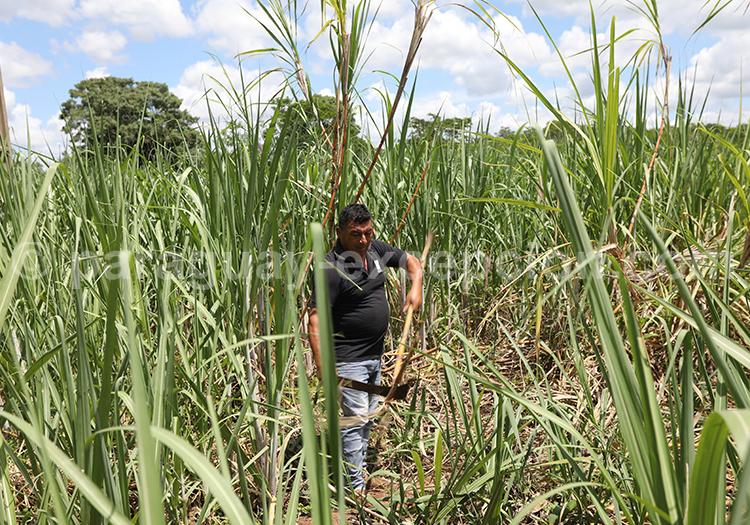 Producteur de cannes à sucre à Piribebuy, Paraguay