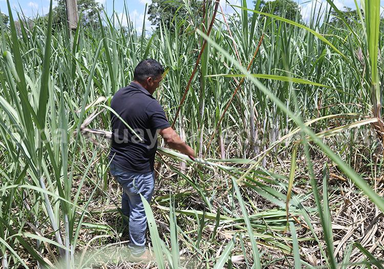 Plantation de cannes à sucre, fabrique du rhum Fortin, Paraguay