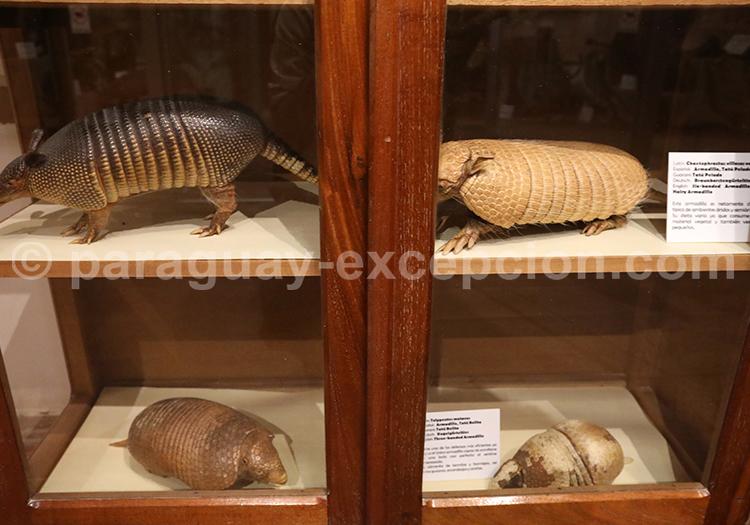 Les différentes espèces de tatous du Chaco
