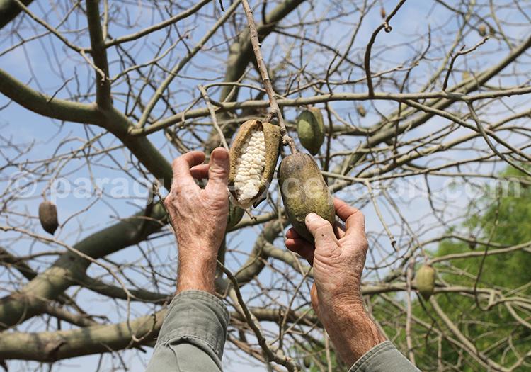 Le palo borracho, arbre mythique du Paraguay