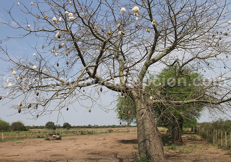 La flore du Paraguay, palo borracho
