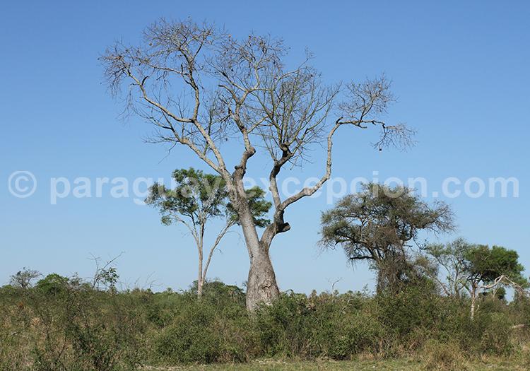 Quels arbres trouve-t-on au Paraguay, le palo borracho