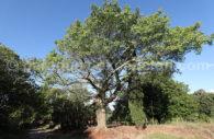 Palo Boracho, Paraguay