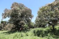 Peteribi, arbres du Paraguay