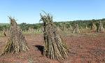 L'économie du sésame au Paraguay