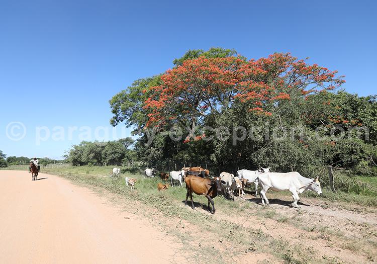 Élevage bovin au Paraguay, Yvy