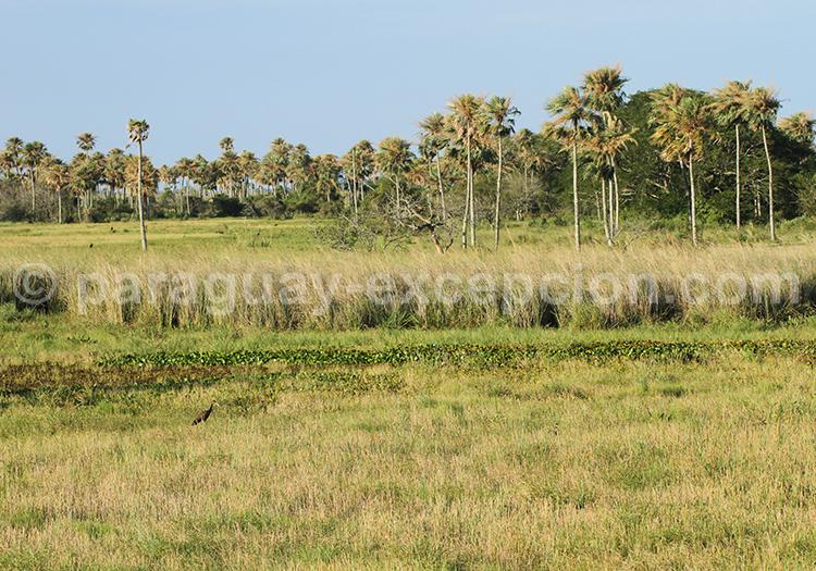 Palmiers du Paraguay, région Yvy
