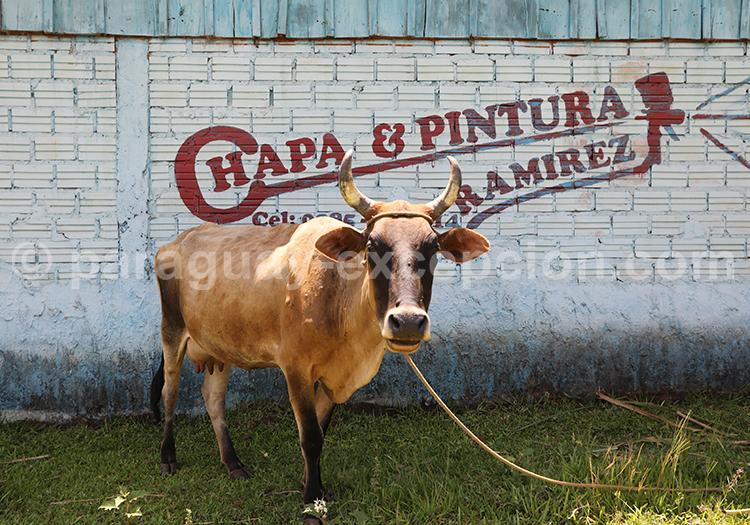 Vache du Paraguay, mission jésuite Jesús de Tavarangue