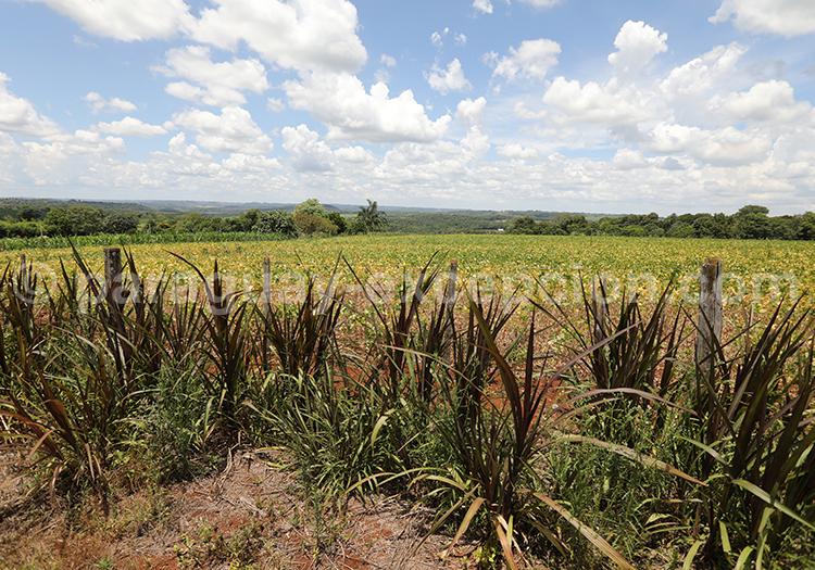 Champs de cannes à sucre au Paraguay
