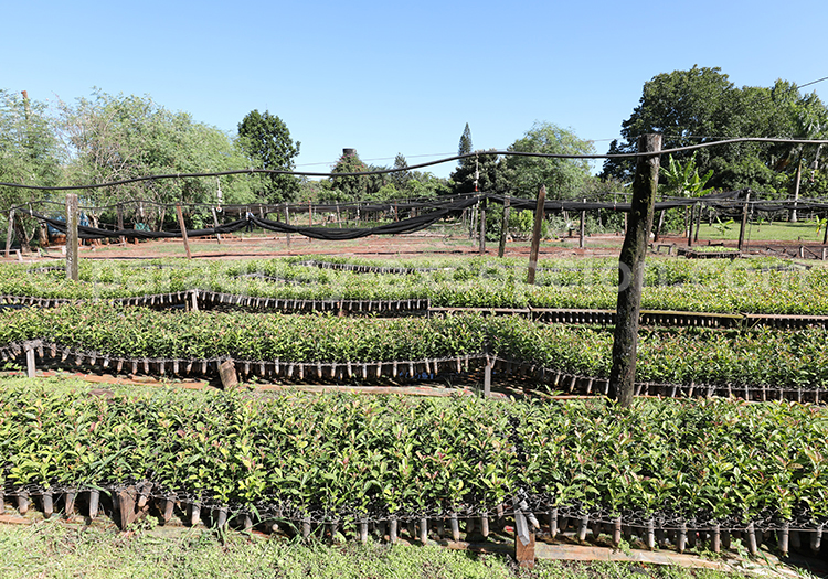 Production de maté au Paraguay, Yerba Selecta, Bella Vista