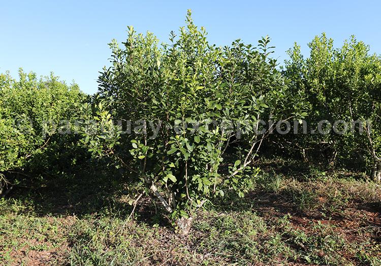 Arbuste de la région Yvy, Bella Vista, Paraguay