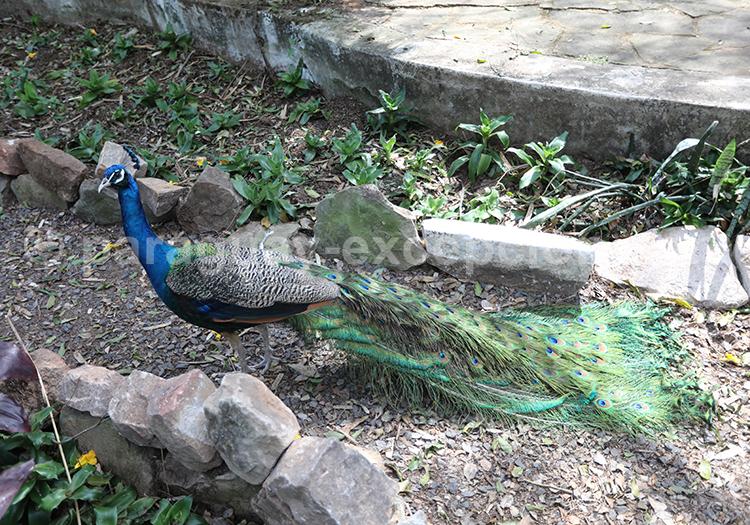 Paon du jardin de l'hotel del Lago, San Bernardino, Paraguay