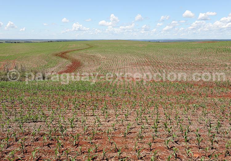Les champs de la région Paraná, Paraguay
